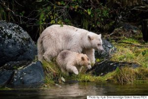 Rare white kermode bear mother and cub in the Great Bear Rainforest, British Columbia, Canada - Nov 2014
